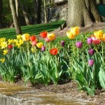 Support May in Montclair For Beautiful Spring Tulips