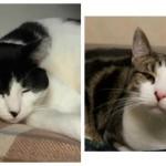 Couple of Cats at Cameron Animal Hospital Need a Family