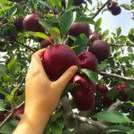 It's Apple Picking Season!