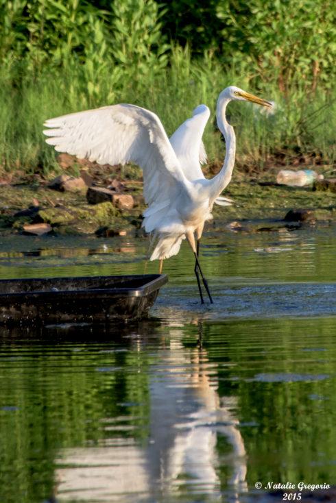 New Jersey Egret