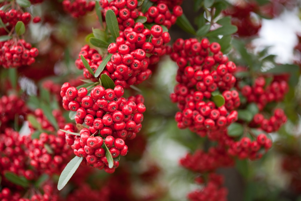 Red Pommes of firethorn Pyracantha