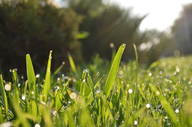 Grass Blades morning dew