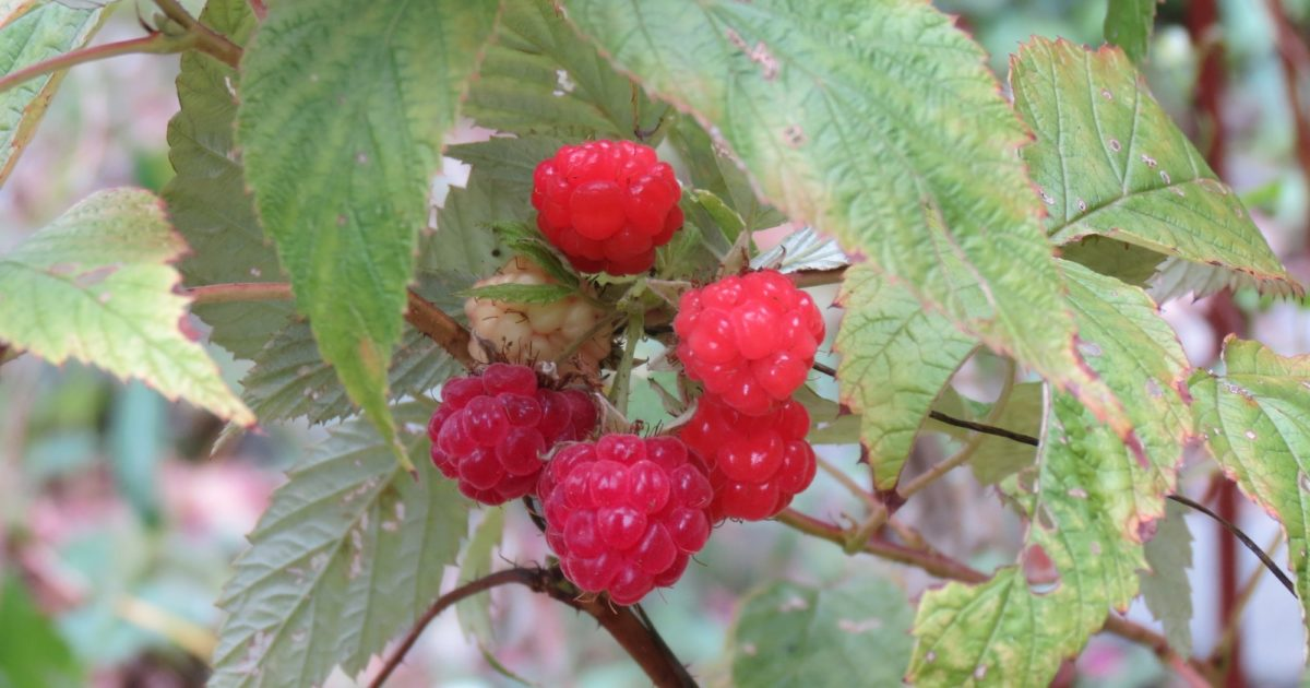 Barnes Foundation | Grow Your Berry Best—Small Fruits for ...