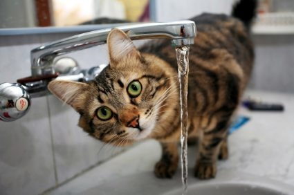 Myth busted: are cats really hydrophobic?