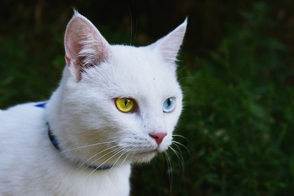 heterochromia-in-cats-new banner image