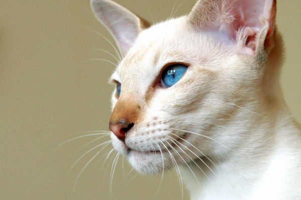 Siamese is one of the most vocal cat breeds