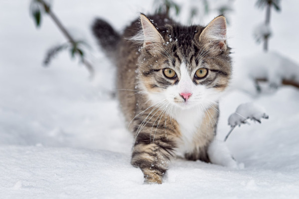 Meet The Mystic Wildcat Of The Fairy Tales: The Norwegian Forest Cat