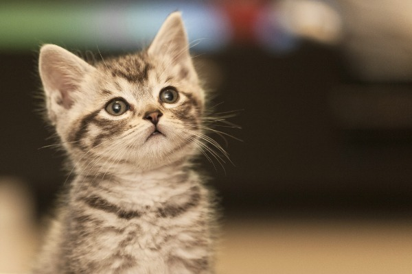 Everything You Need To Know About Your American Shorthair