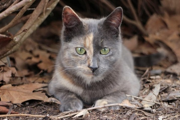 The Chimera cat – its own non-identical twin