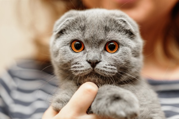 The Floppy-Eared Darlings: The Scottish Fold