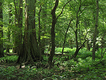 Pocomoke State Forest
