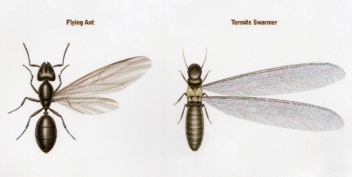 Termites Vs. Flying Ants: Know The Difference