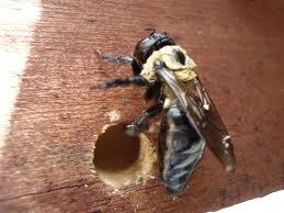 Big, Buzzing Carpenter Bees