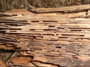 Wood-Destroying Carpenter Ants
