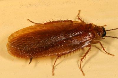 The Pennsylvania Wood Cockroach
