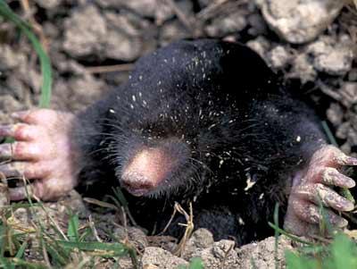 Mole Management Tips
