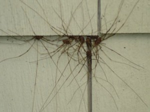 Daddy Longlegs: Beneficial, Or A Minor Nuisance