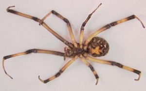 The Brown Widow Spider