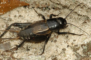 Field And House Crickets