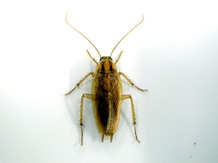 German Cockroach Basics