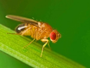 About Those Fruit Flies…