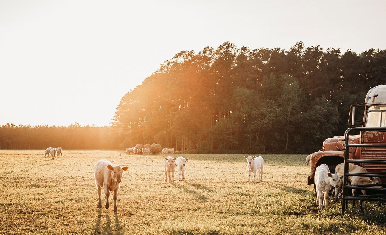 Young calfs on a field in Wicomico County MD