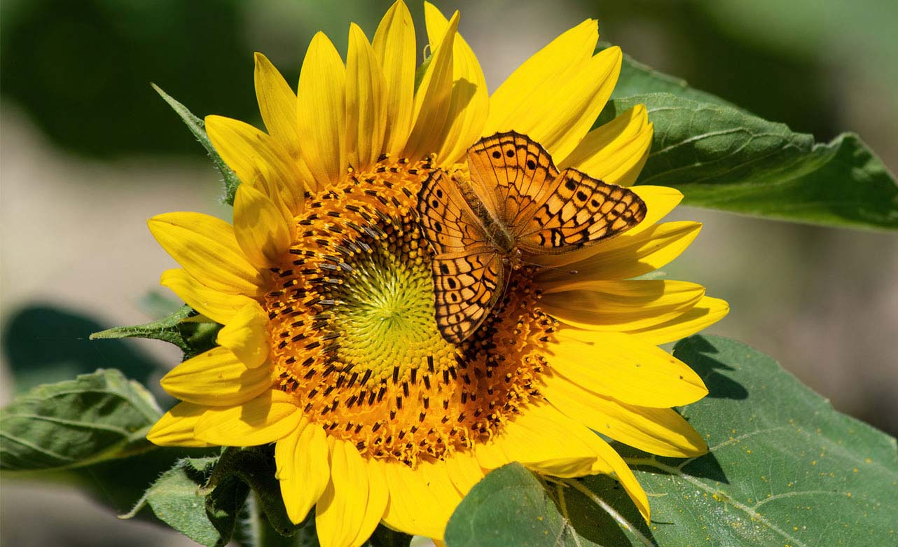 Sunflower plant with butterfly