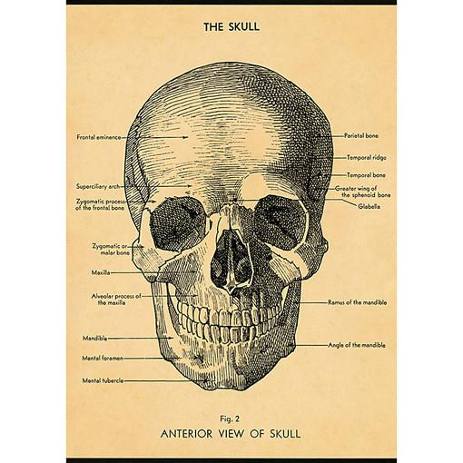 Decorative Anterior View of the Skull Poster