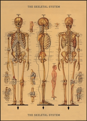 Decorative Wrap/Poster Skeletal System