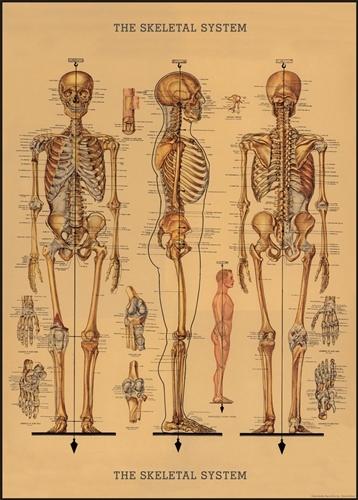 Decorative Wrap/Poster Skeletal System