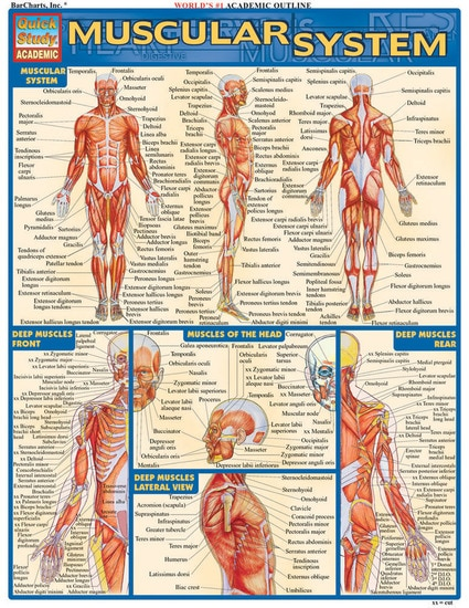 Muscular System QuickStudy Laminated Study Guide