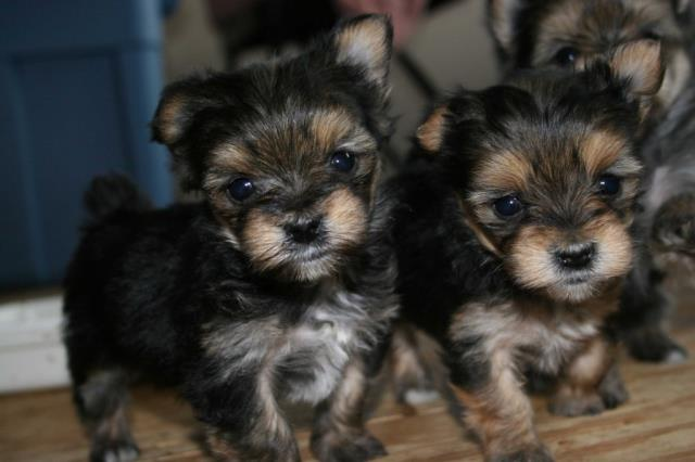cutest yorkie puppies(male and female) seeking for Saint Paul MN