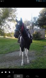 16 yr old Paint gelding Pine River MN