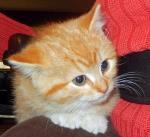 Female orange kitten 9 weeks old Alexandria MN