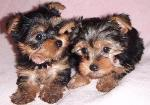 Akc Purebreed Yorkie Puppies available for adoptio Saint Paul MN