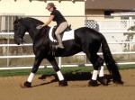 7 yr. old Friesian sport mare, dressage & trail ex Saint Paul MN
