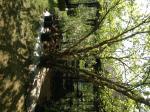Incredibly Ornamental BIRCH TREES - 3 varieties Erhard MN
