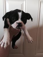 Boston Terrier puppy Sartell MN