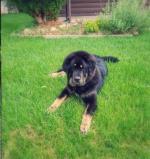 Minneapolis, MN Tibetan Mastiff Puppies for Sale t Minneapolis MN