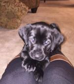 Black Lab Puppies Donnelly MN