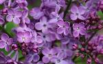 Old Fashion PURPLE LILACS-YAY! $10 ea or 5 for $40 Erhard MN