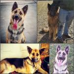German Shepherd Puppies! Parkers Prairie MN