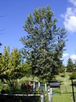 6 foot FAST grow Poplars-Potted- Special Price! Or Erhard MN