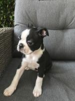 Registered Boston Terrier puppies text or call at Minneapolis MN