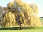 BEAUTIFUL 7 foot PLUS Golden Willow Trees, weeping Erhard MN