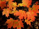 5 foot PLUS potted SUGAR MAPLE TREES- Nice! $80 or Erhard MN
