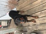 AKC Doberman puppy Saint Paul MN