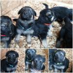 German Shepherd Puppies Parkers Prairie MN