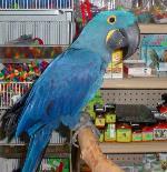 hyacinth macaw and umbrella Kokapoo macaw for sale Minneapolis MN