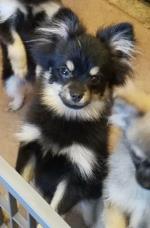 Pomeranians Rothsay MN